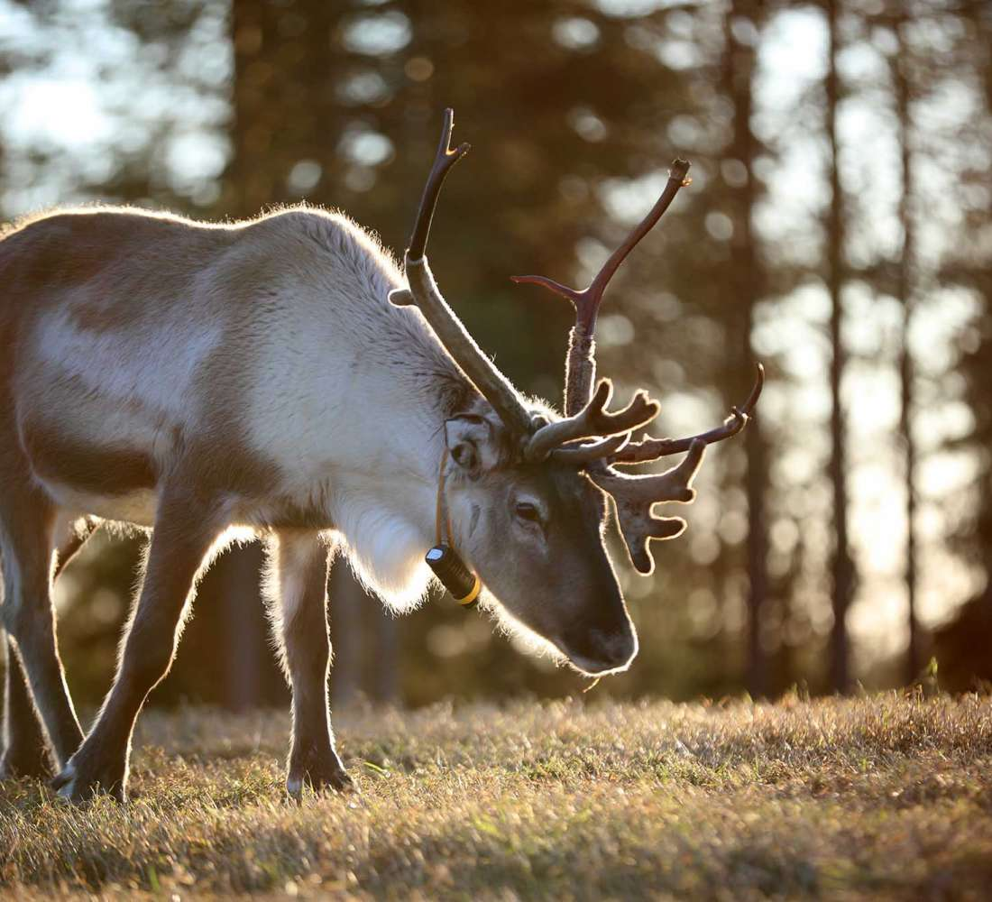 Sustainable reindeer herding